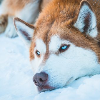 Husky with Blue Eyes Laying in the Snow