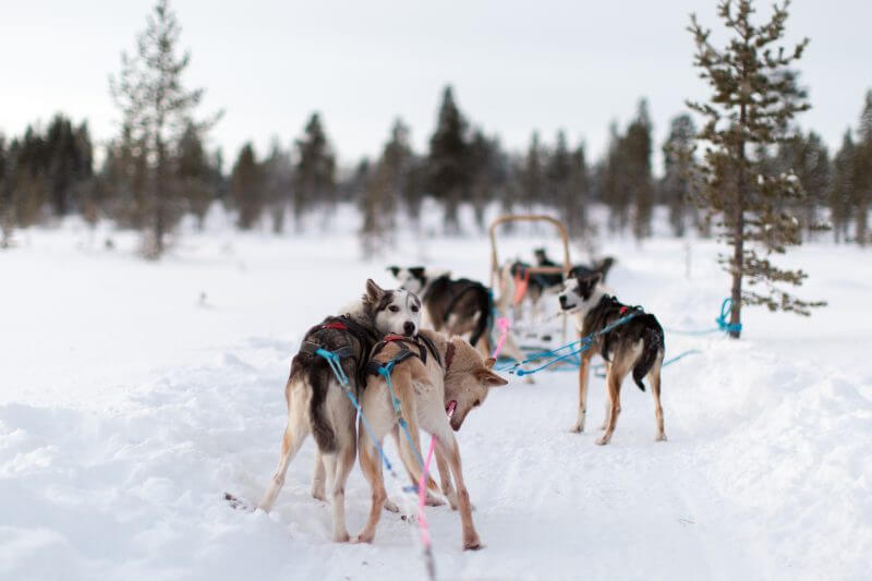 Sled Dogs Looking back, getting ready to race
